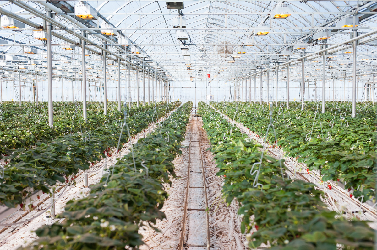 strawberry cultivation in greenhouse pdf